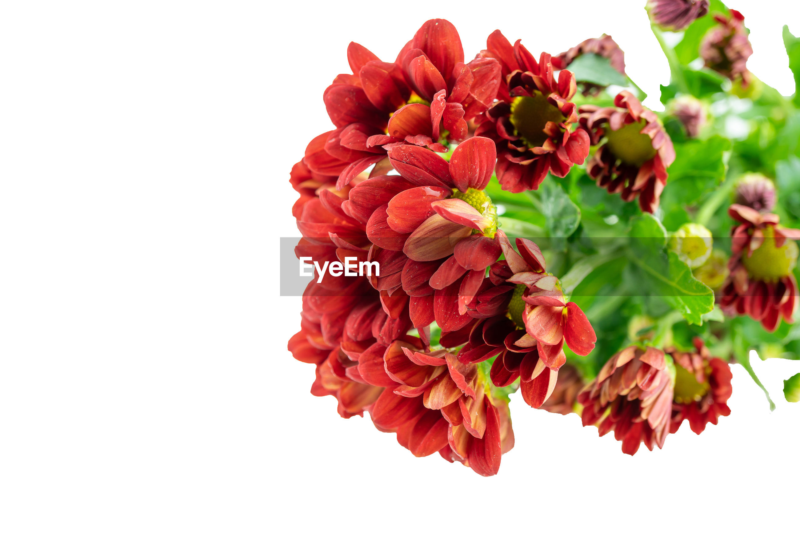 CLOSE-UP OF RED FLOWERING PLANT OVER WHITE BACKGROUND