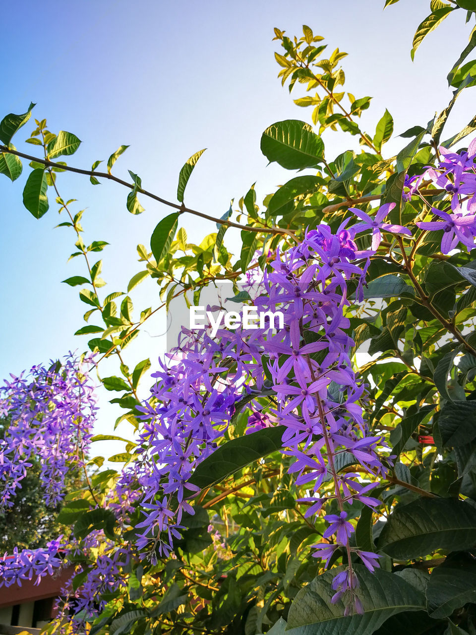 growth, flower, low angle view, freshness, purple, beauty in nature, leaf, green color, fragility, day, nature, no people, outdoors, tree, branch, plant, petal, lilac, blooming, close-up, flower head