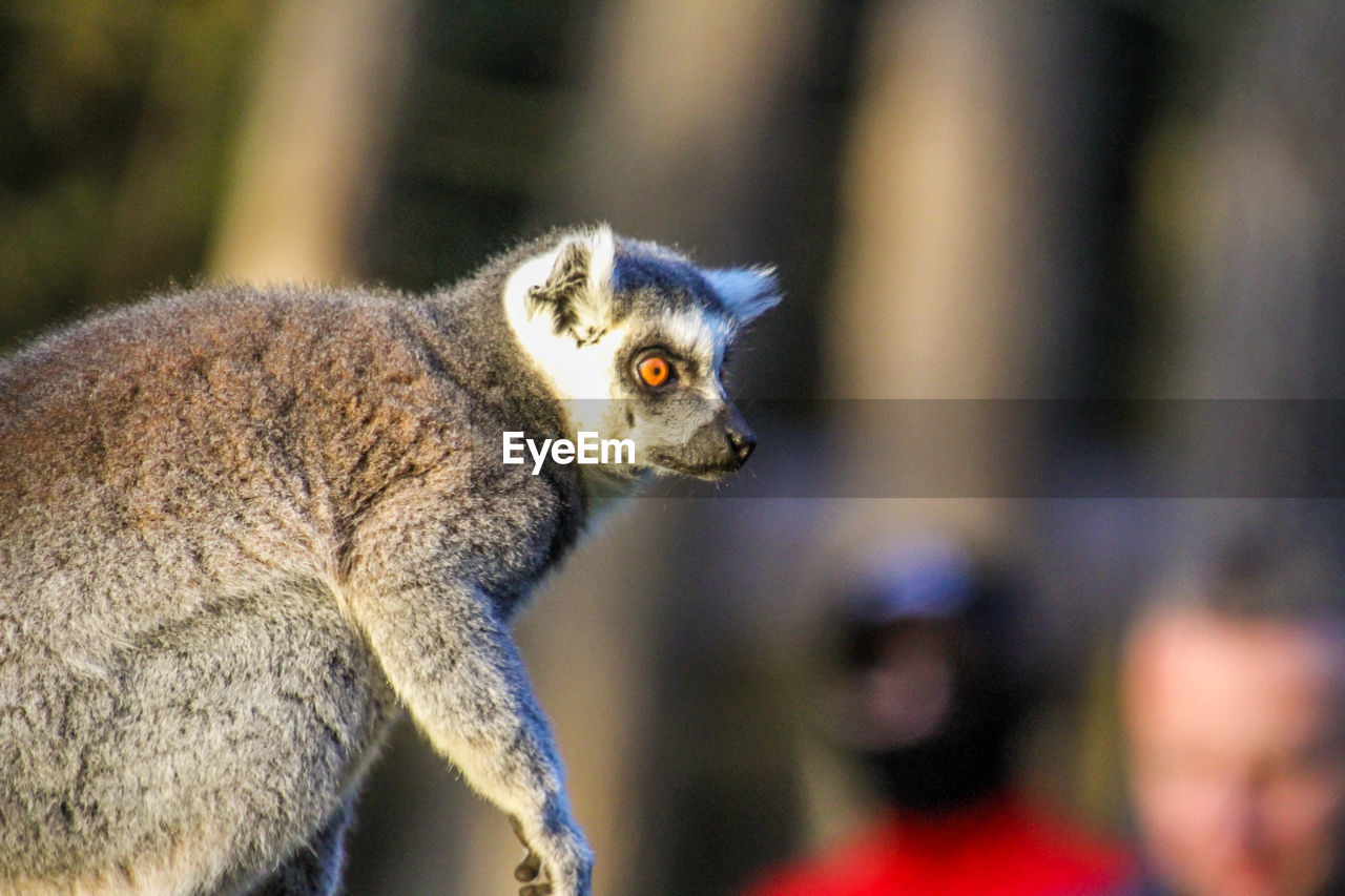 one animal, lemur, mammal, focus on foreground, vertebrate, close-up, animal wildlife, no people, animals in the wild, looking, day, looking away, nature, side view, outdoors, animal body part, gray, whisker