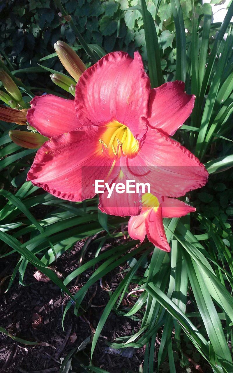 High Angle View Of Pink Lily Blooming In Garden