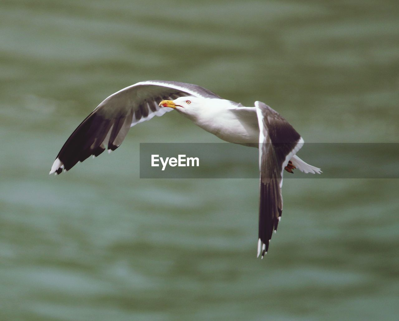 animal wildlife, animals in the wild, animal themes, animal, vertebrate, bird, flying, spread wings, mid-air, no people, motion, nature, focus on foreground, one animal, seagull, day, water, animals hunting, survival, outdoors, mouth open