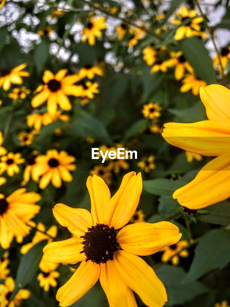 flower, petal, growth, fragility, flower head, yellow, freshness, nature, beauty in nature, blooming, plant, pollen, field, no people, outdoors, day, black-eyed susan, close-up, springtime