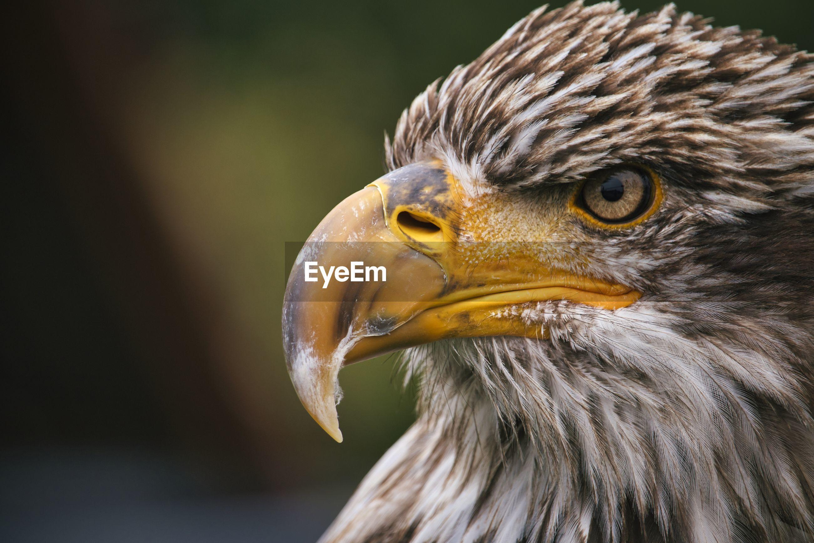 CLOSE-UP OF A EAGLE