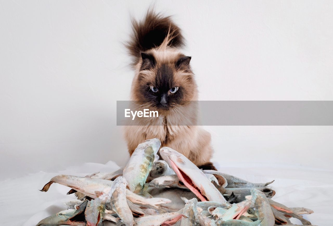 Portrait Of Cat With Dead Fish Sitting Against White Background