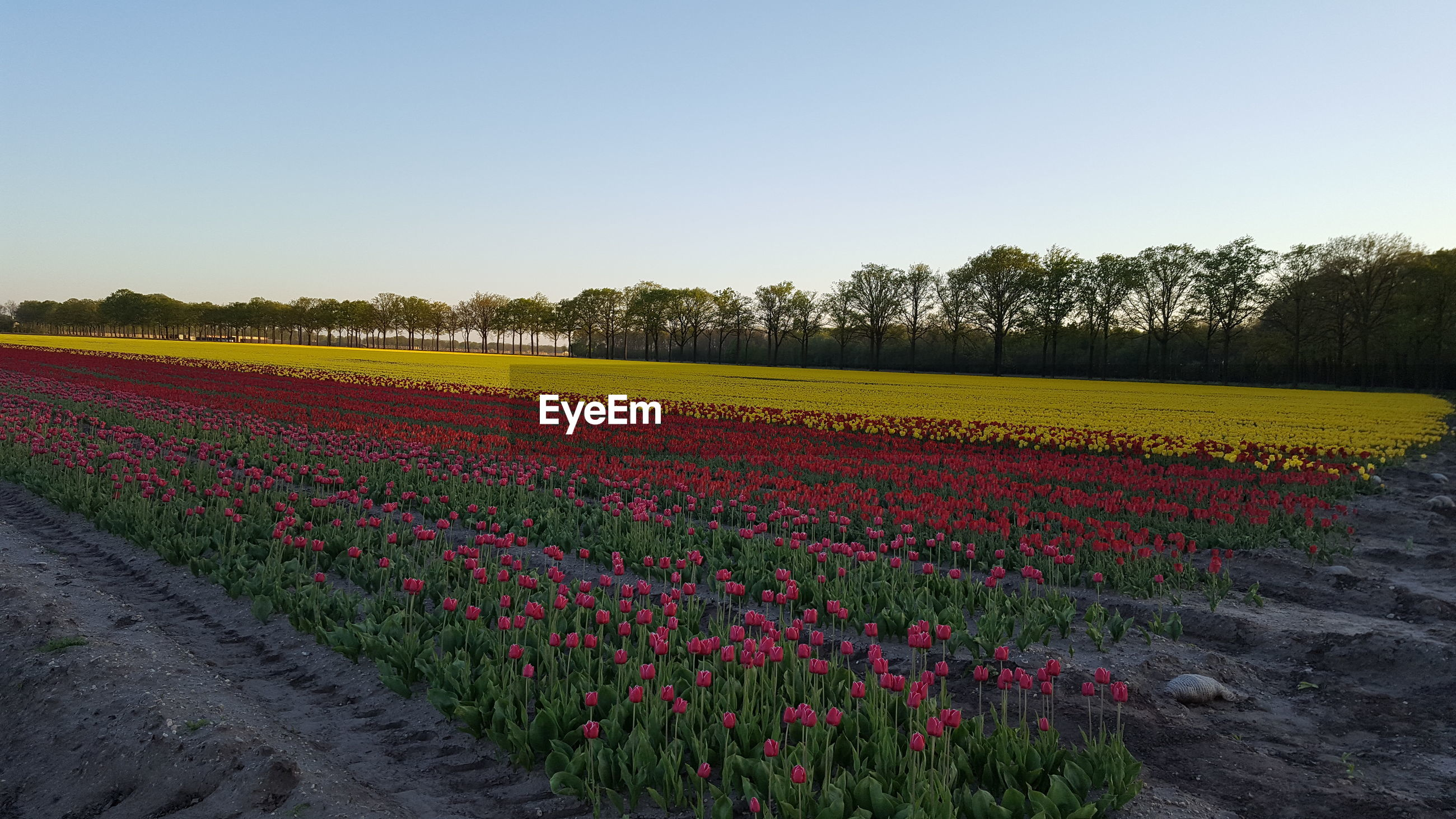 SCENIC VIEW OF FLOWERING PLANTS AGAINST CLEAR SKY