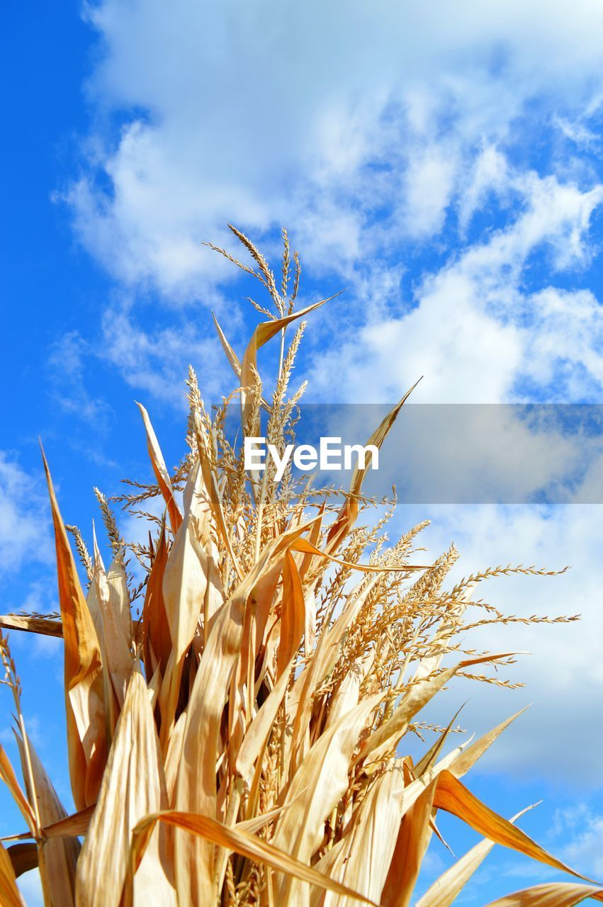 growth, sky, nature, cereal plant, plant, crop, agriculture, day, straw, outdoors, no people, cloud - sky, field, beauty in nature, wheat, blue, rural scene, close-up