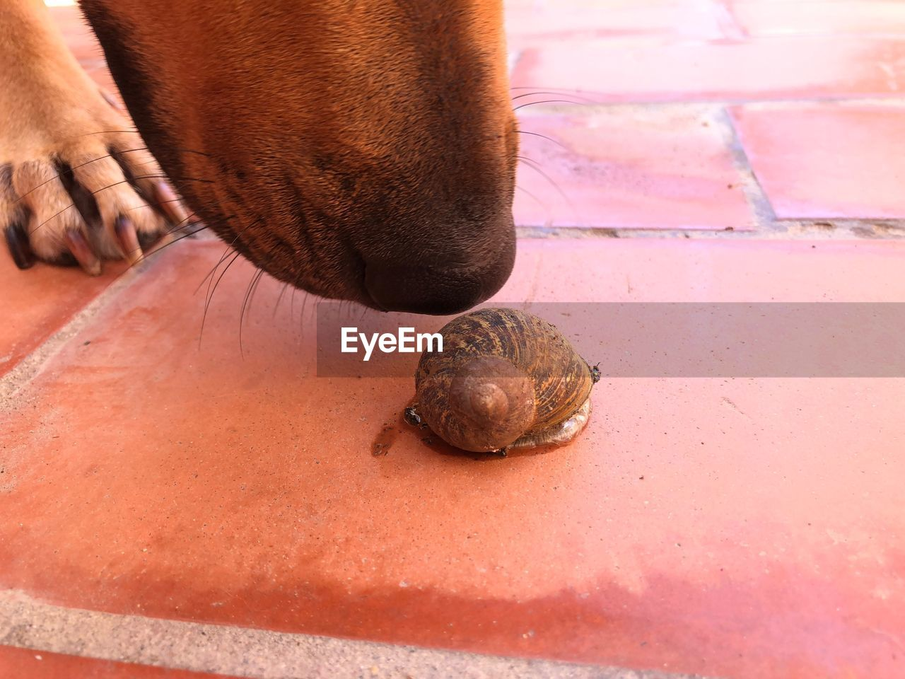 Close-up of dog smelling snail on floor