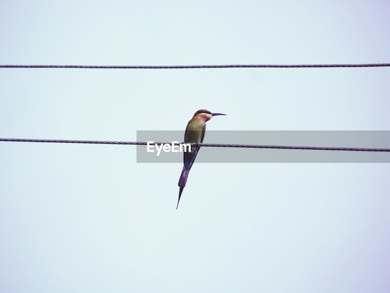 vertebrate, animal themes, one animal, animal, bird, animals in the wild, animal wildlife, sky, clear sky, no people, perching, day, low angle view, cable, copy space, nature, outdoors, full length, power line, kingfisher