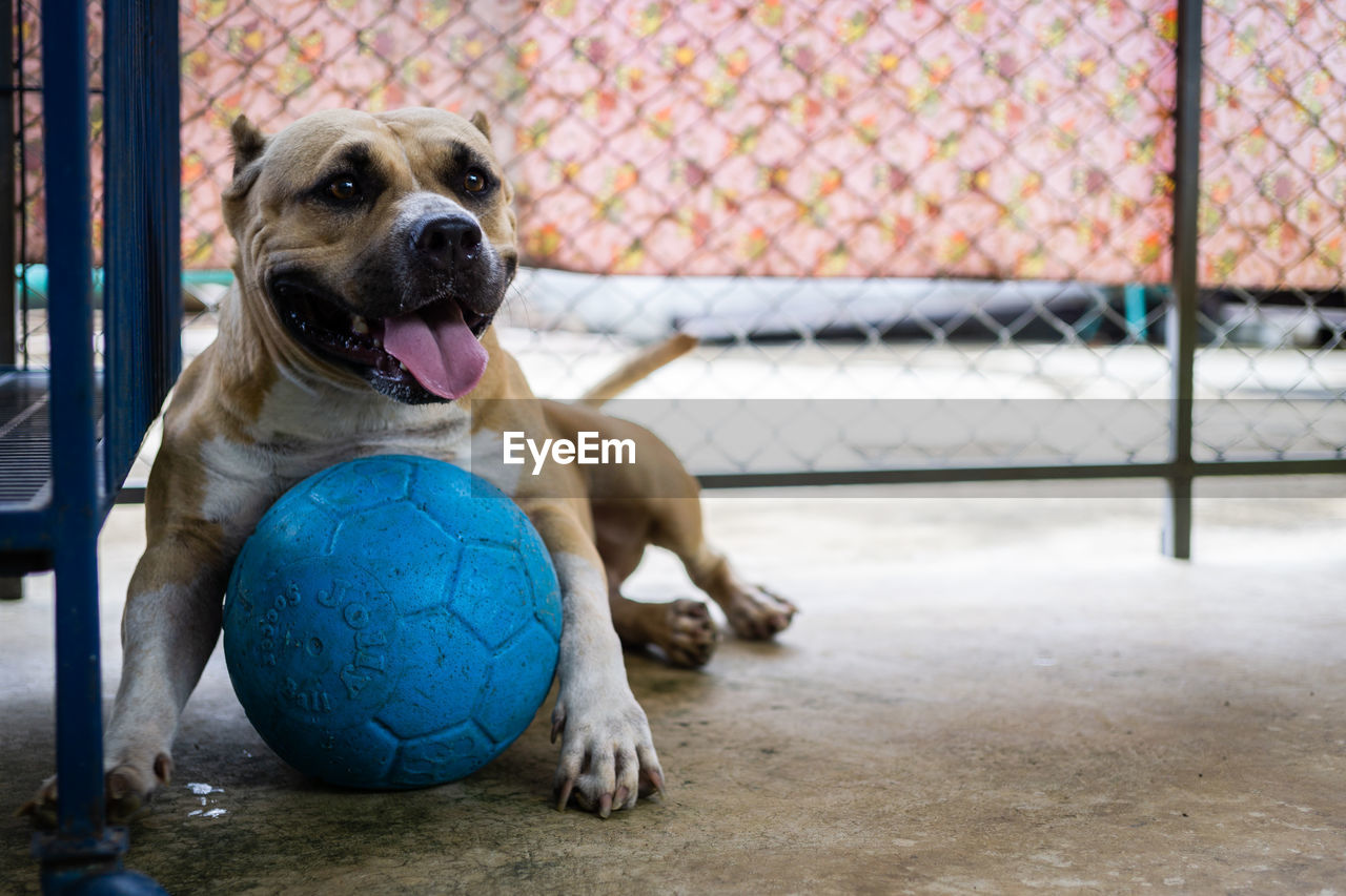 dog, canine, domestic, pets, mammal, domestic animals, ball, one animal, vertebrate, focus on foreground, sport, no people, sitting, day, relaxation, sphere, animal body part, mouth open