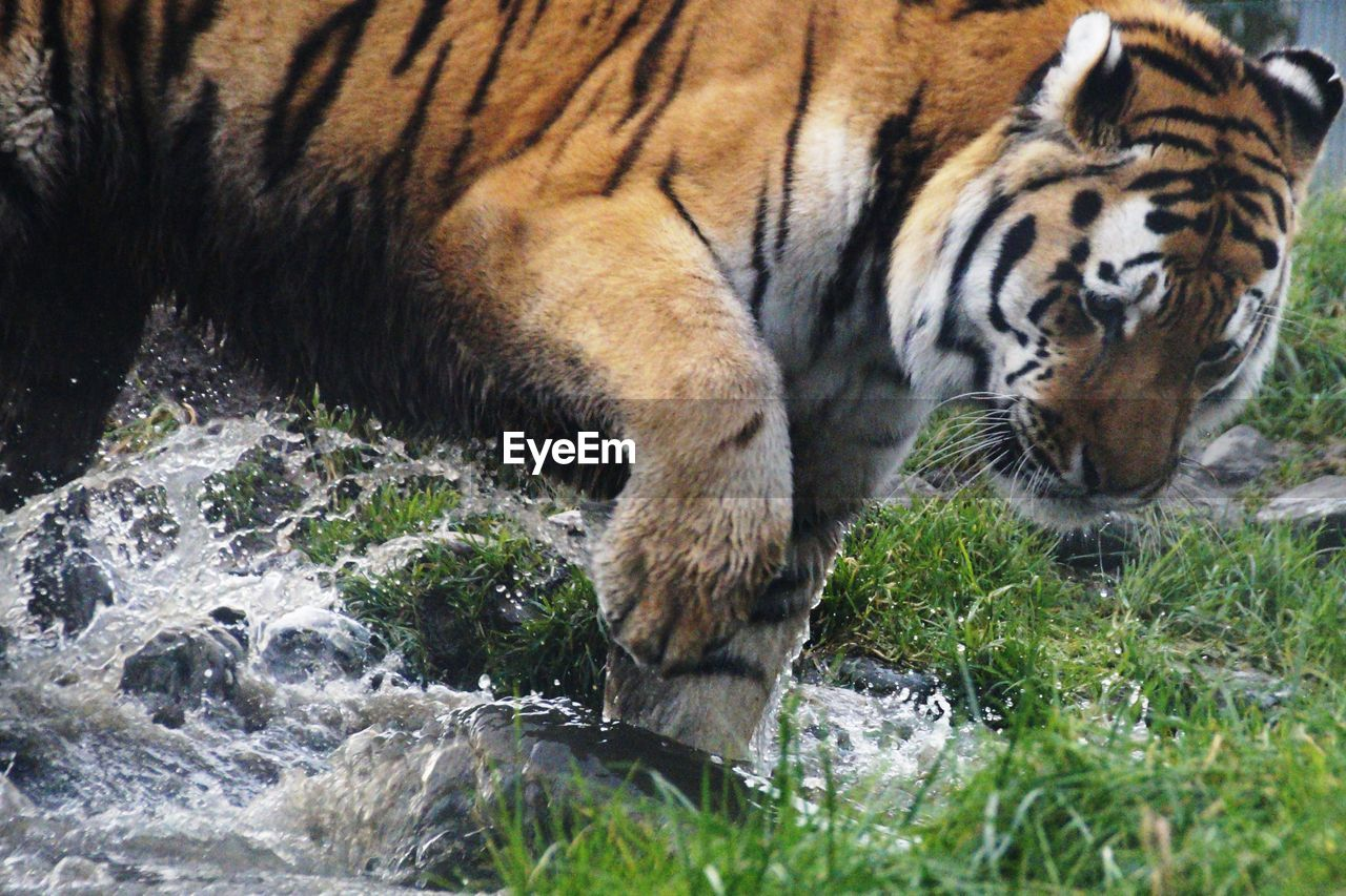one animal, tiger, animals in the wild, animal themes, day, nature, mammal, animal wildlife, outdoors, no people, water, grass, close-up