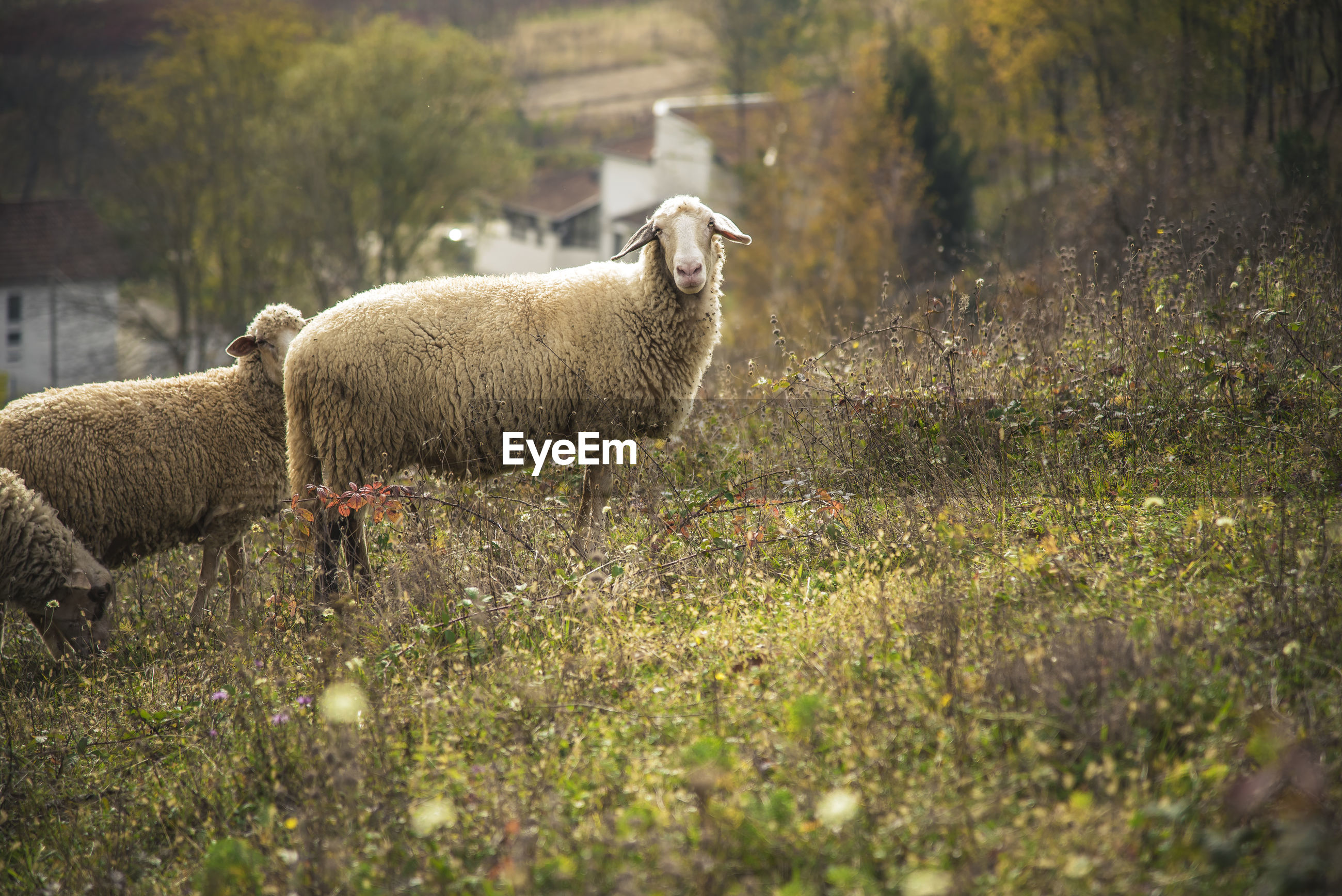 domestic animals, animal themes, mammal, livestock, sheep, no people, field, grass, nature, day, lamb, outdoors, standing, growth, tree, beauty in nature