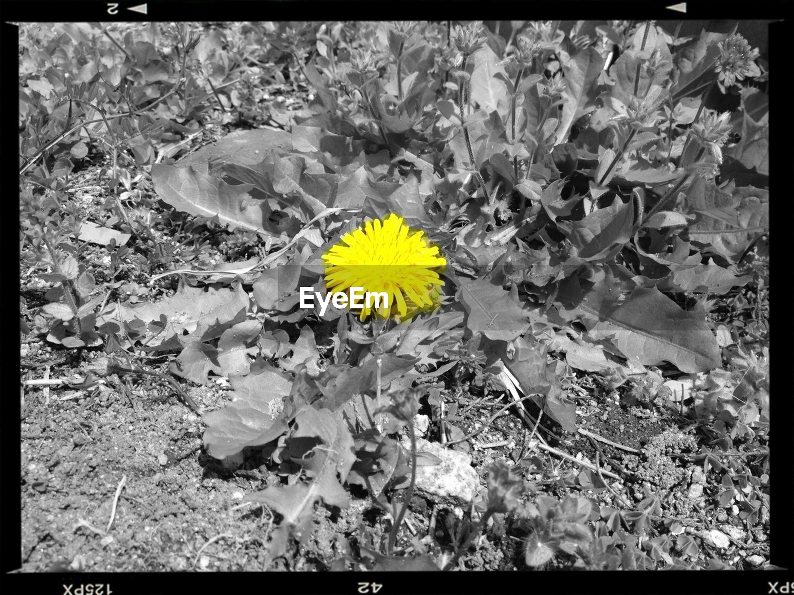 yellow, flower, transfer print, fragility, auto post production filter, nature, beauty in nature, growth, flower head, petal, freshness, field, plant, high angle view, blooming, single flower, day, close-up, outdoors, no people