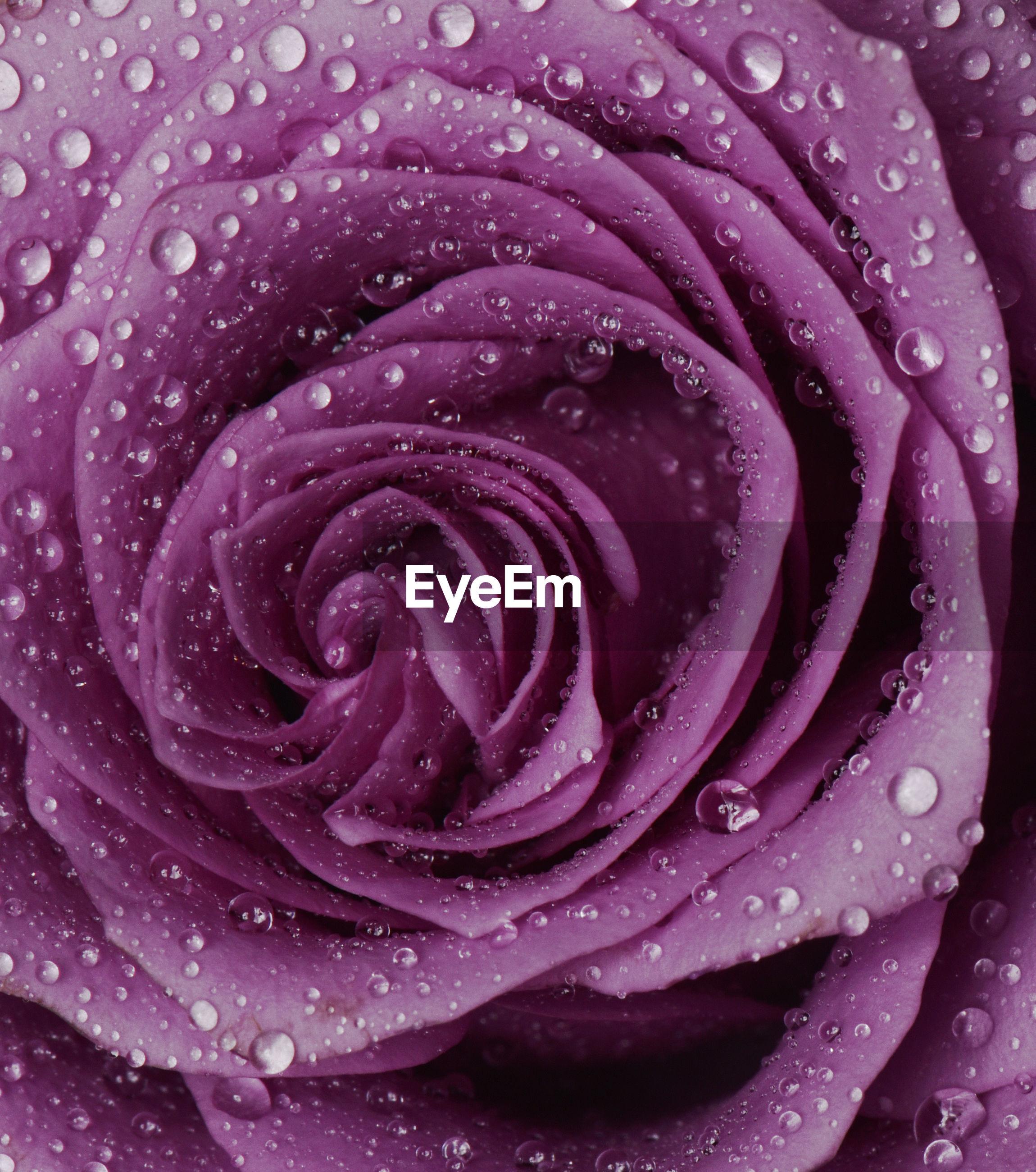 Close-up of wet pink rose