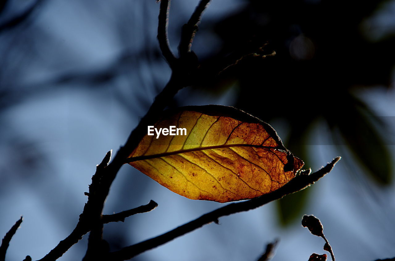 leaf, autumn, change, dry, nature, focus on foreground, close-up, day, outdoors, no people, beauty in nature, maple, fragility