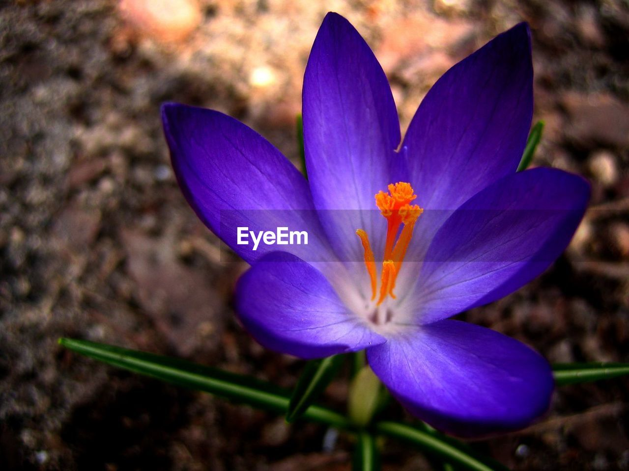 flower, petal, nature, flower head, beauty in nature, fragility, no people, close-up, freshness, plant, growth, outdoors, day, blooming, crocus