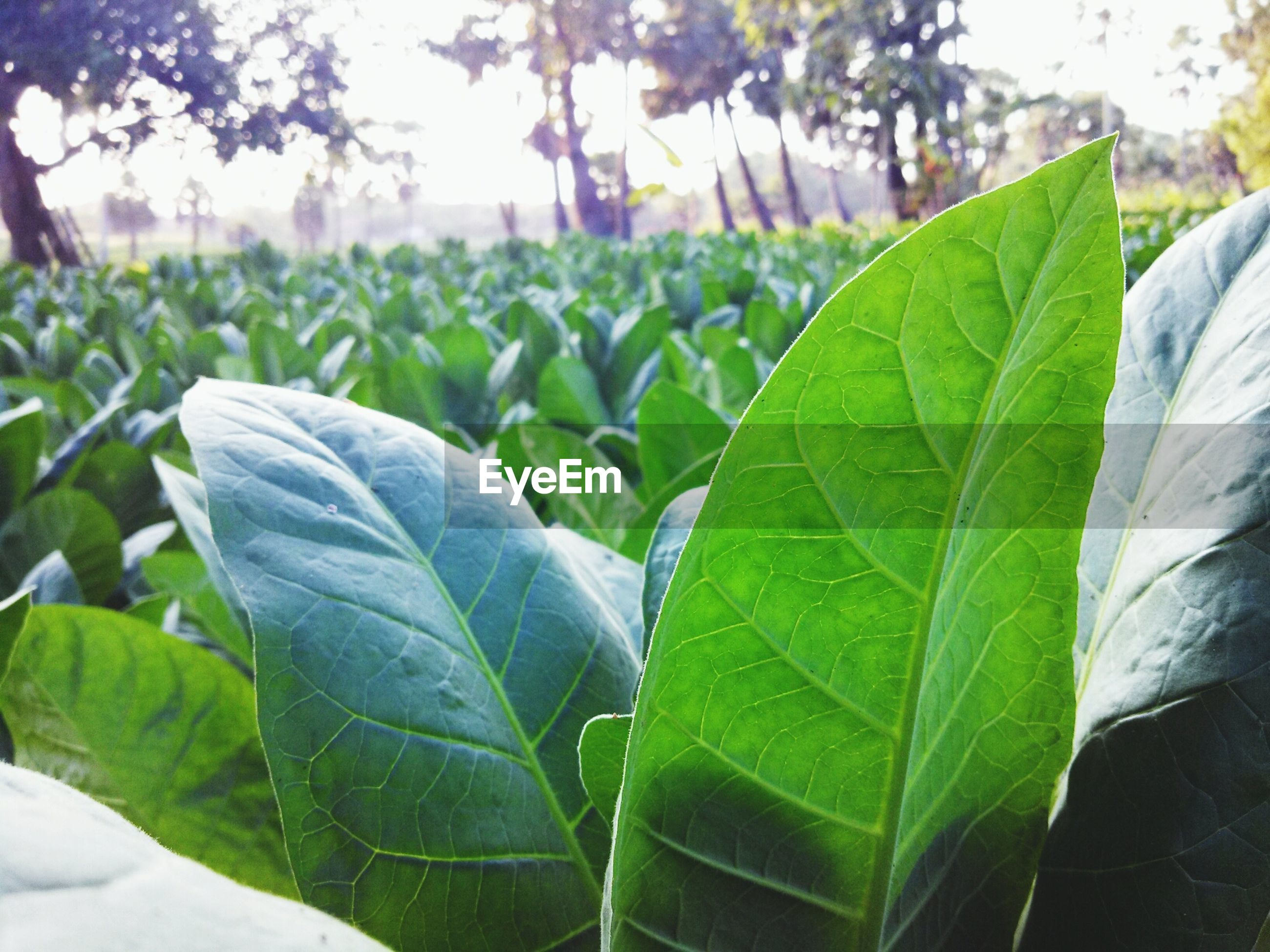 leaf, green color, growth, plant, focus on foreground, close-up, nature, leaf vein, freshness, beauty in nature, green, field, day, outdoors, tranquility, leaves, no people, selective focus, growing, sunlight