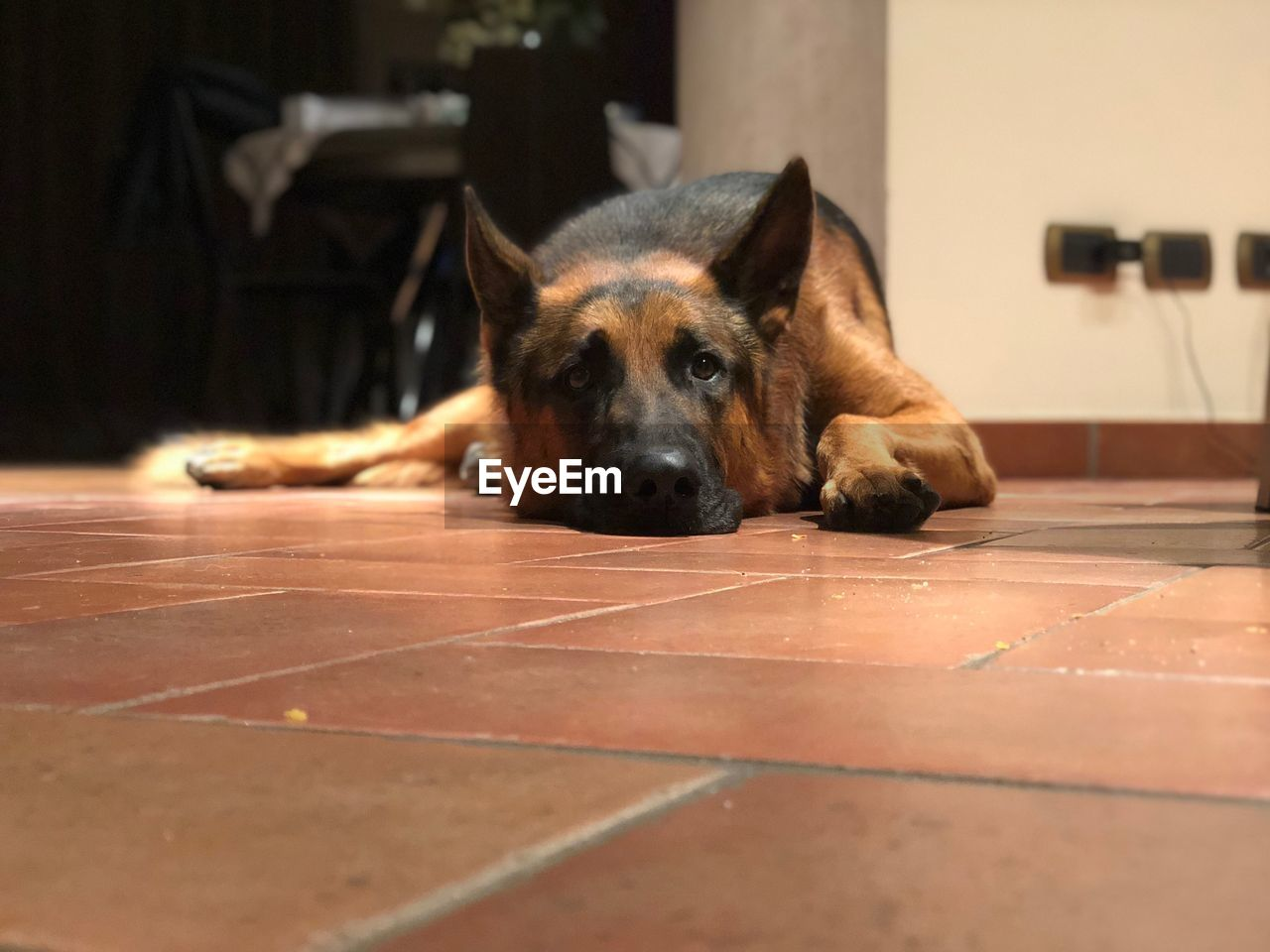 Dog relaxing on tiled floor at home