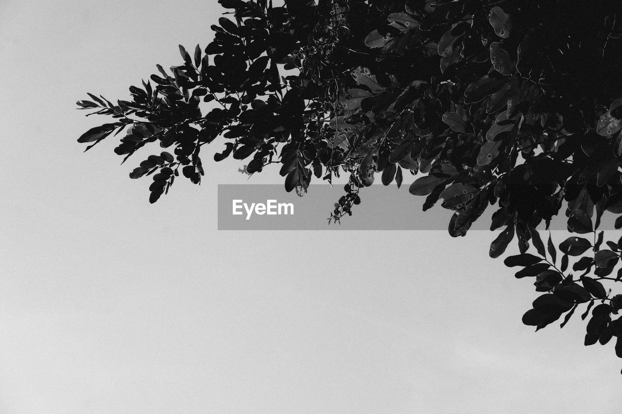 plant, tree, sky, growth, branch, nature, low angle view, beauty in nature, no people, leaf, plant part, clear sky, outdoors, tranquility, day, dusk, copy space, silhouette, botany, close-up