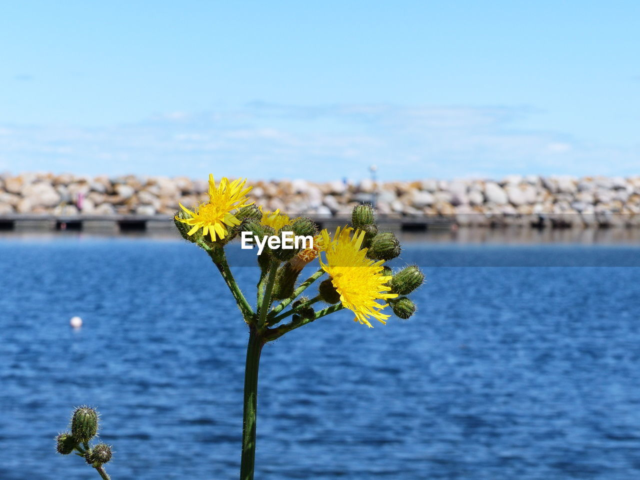 flower, flowering plant, beauty in nature, water, plant, yellow, nature, vulnerability, fragility, sky, freshness, close-up, flower head, focus on foreground, growth, inflorescence, no people, sea, day, outdoors