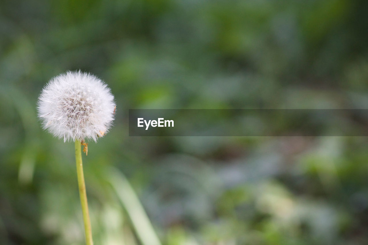 flower, growth, dandelion, nature, fragility, plant, close-up, focus on foreground, beauty in nature, flower head, day, outdoors, freshness, no people