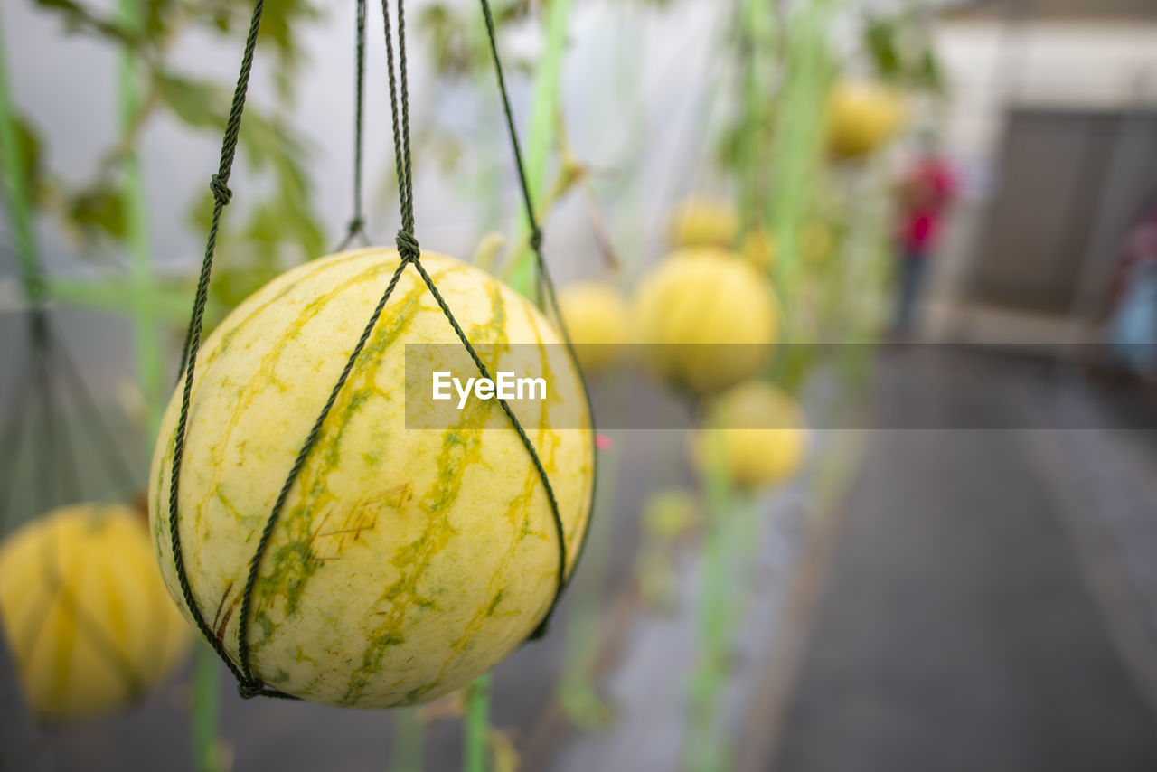 focus on foreground, food, food and drink, no people, day, close-up, freshness, pumpkin, healthy eating, yellow, plant, nature, fruit, selective focus, outdoors, vegetable, wellbeing, growth, agriculture, hanging, ripe