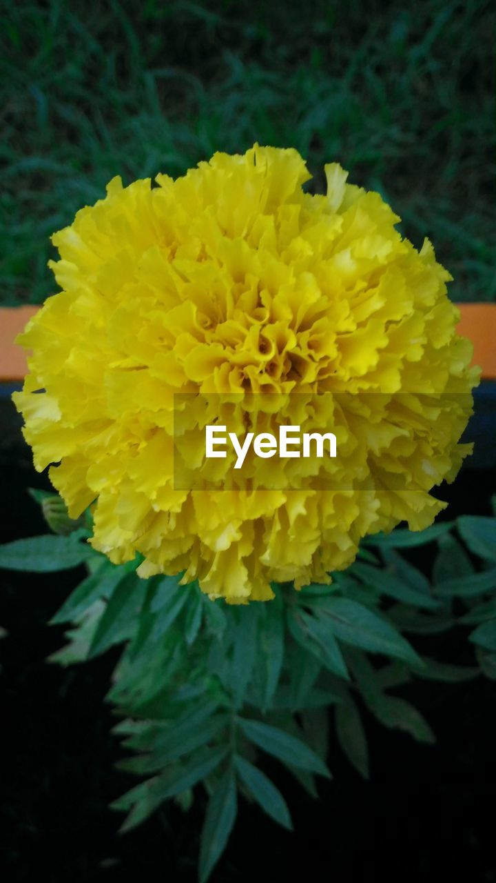 flower, yellow, fragility, freshness, petal, beauty in nature, close-up, nature, flower head, no people, growth, plant, marigold, outdoors, blooming, day