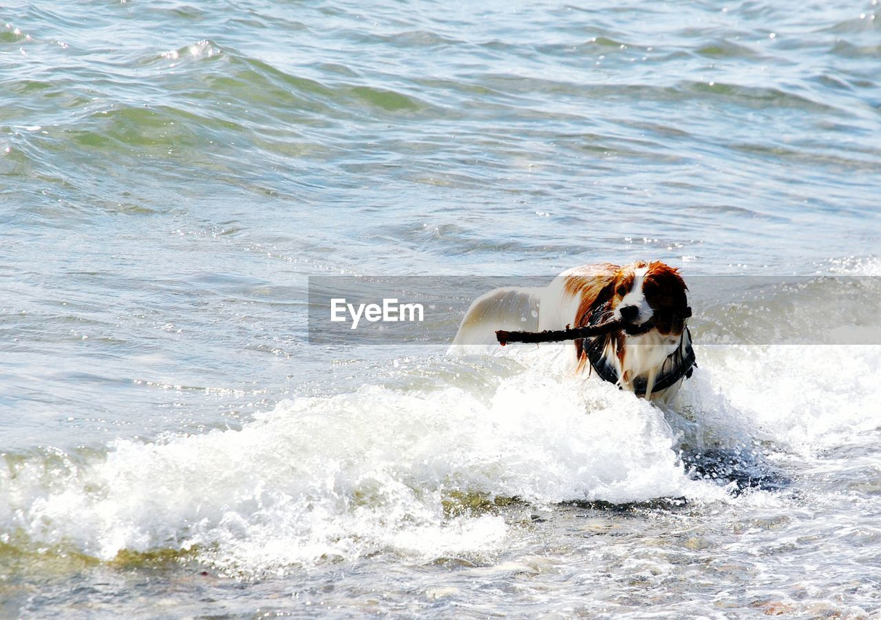 Dog holding stick in mouth on sea