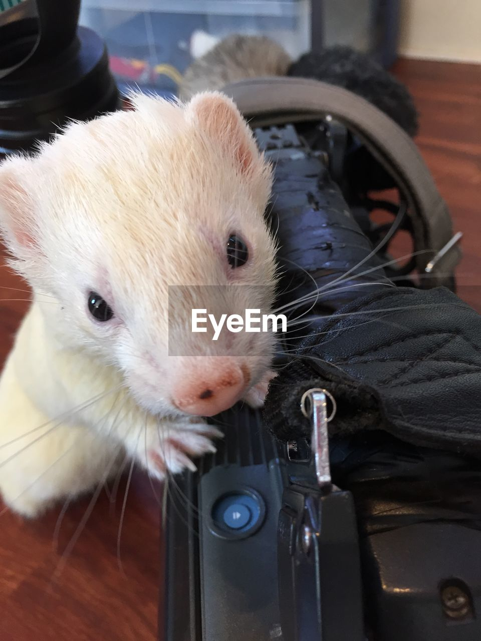 Close-Up Of Ferret With Equipment On Table