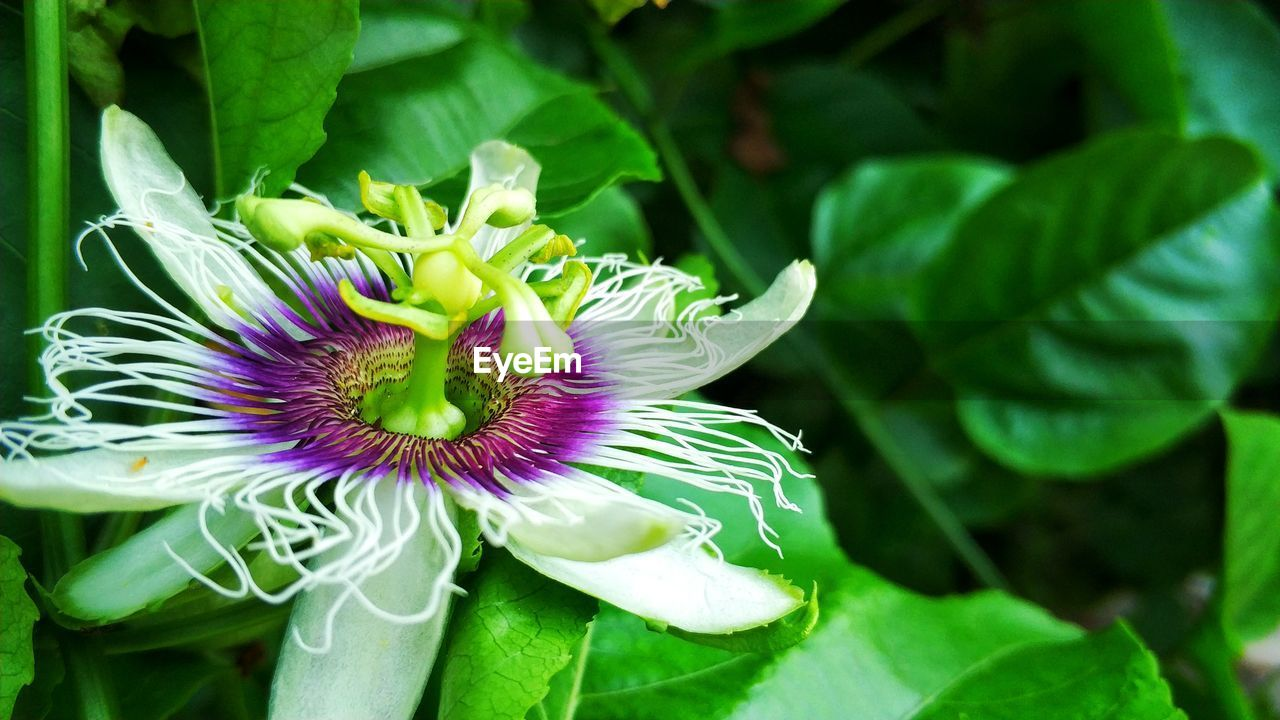 flower, flowering plant, plant, vulnerability, fragility, freshness, growth, beauty in nature, petal, inflorescence, flower head, plant part, close-up, leaf, passion flower, green color, nature, day, focus on foreground, pollen, purple, no people