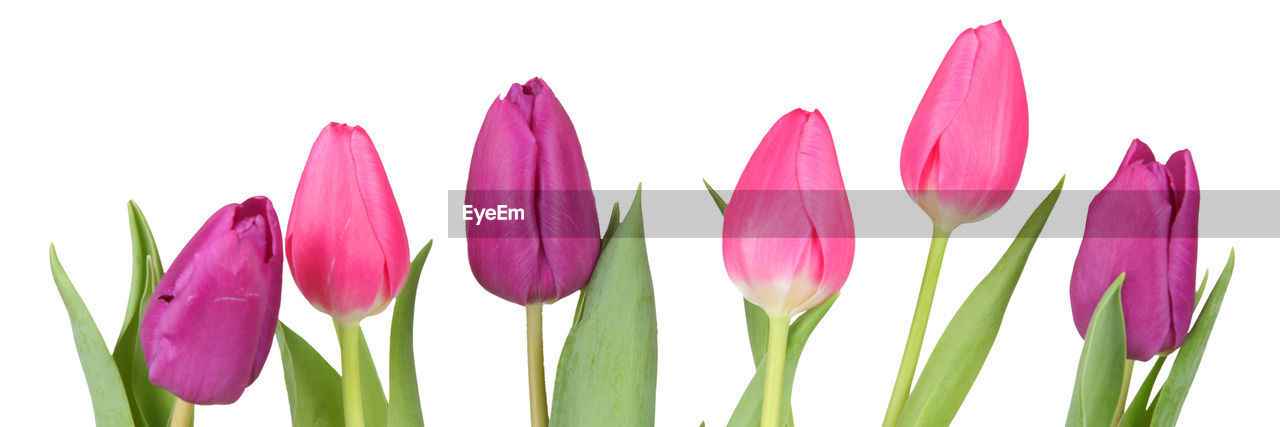 plant, freshness, beauty in nature, growth, vulnerability, white background, petal, flowering plant, close-up, studio shot, flower, fragility, nature, inflorescence, no people, flower head, pink color, tulip, purple, leaf