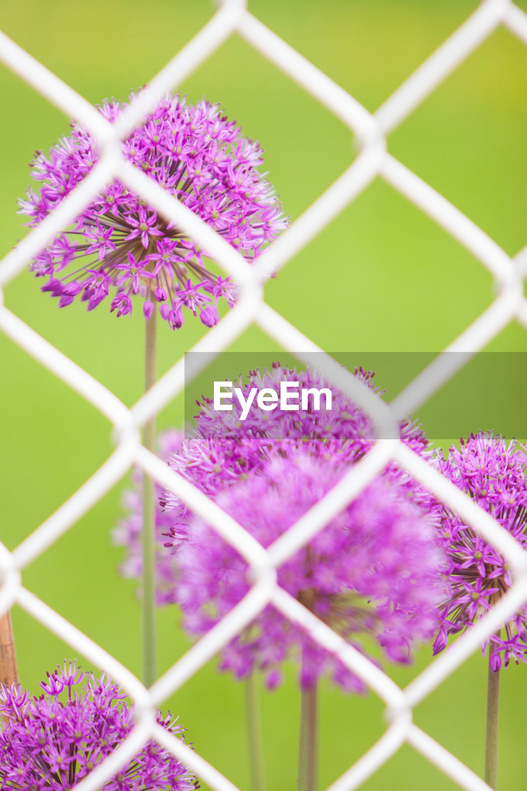 Purple flowers seen through white chainlink fence