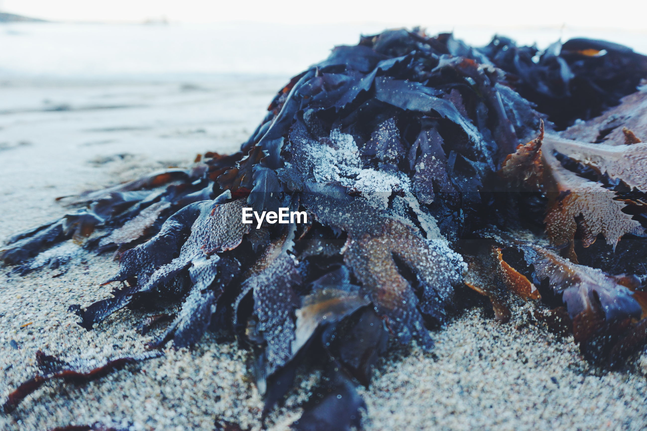 Close-up of seaweed on sand at beach
