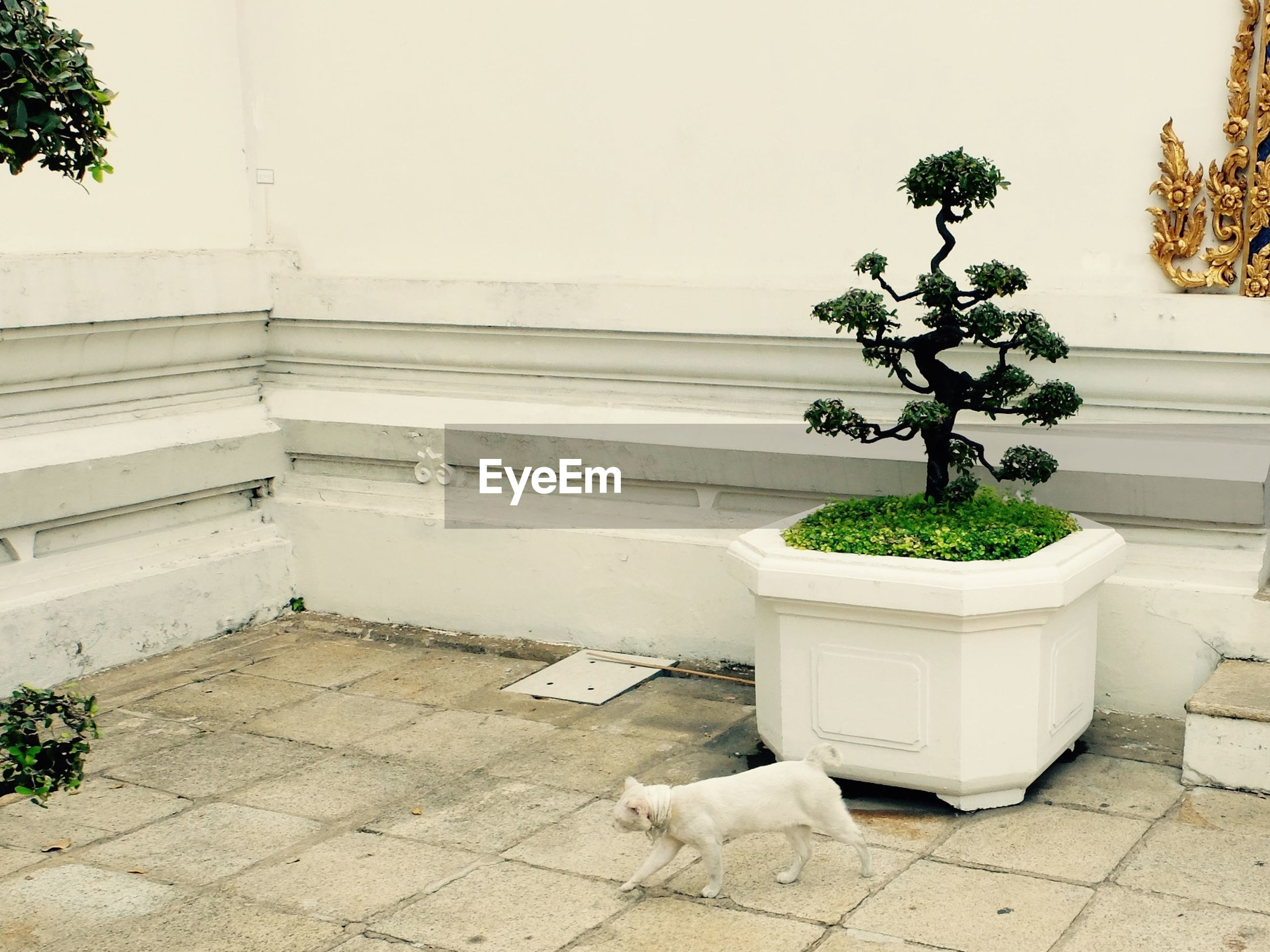 Cat walking by potted plant against white wall
