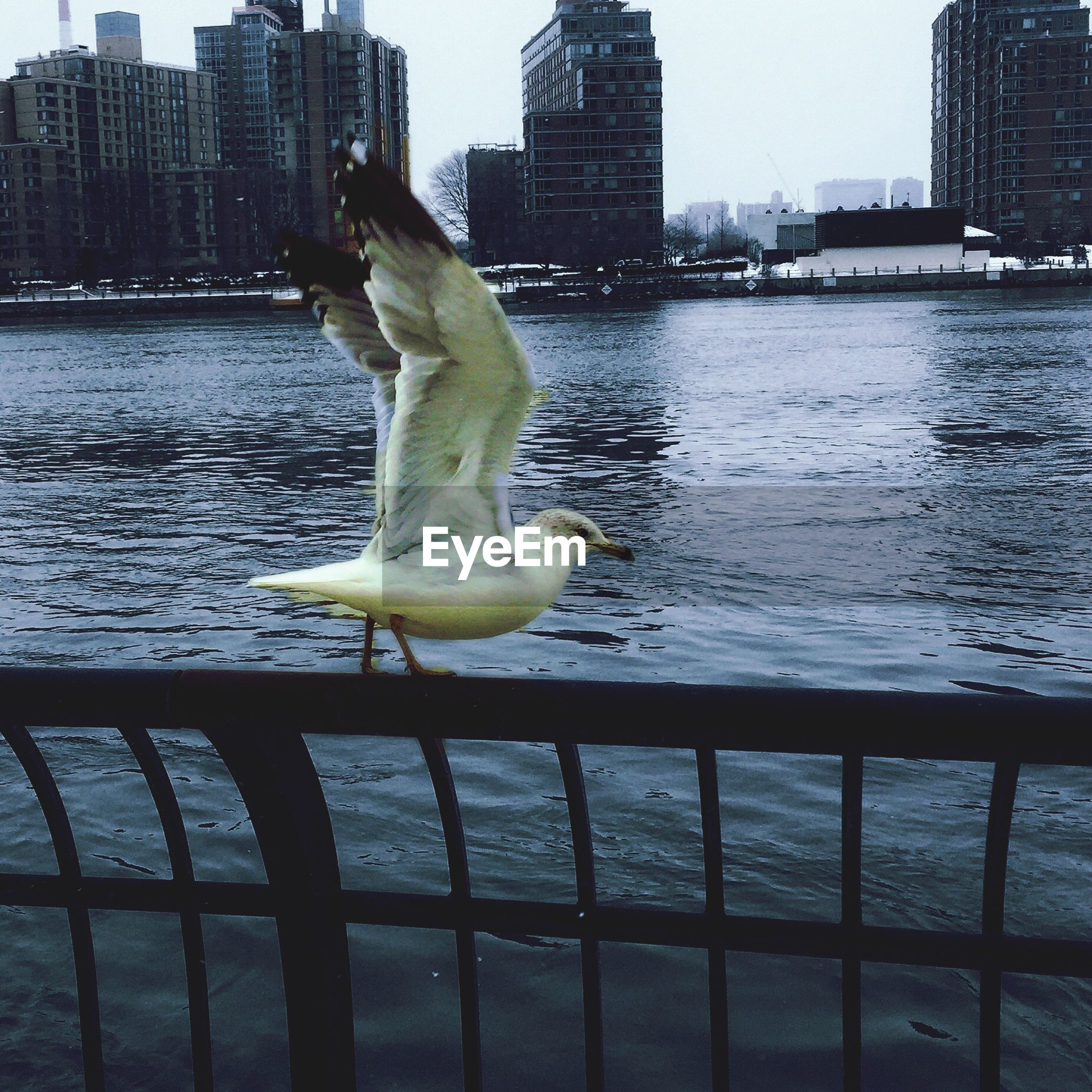 Seagull taking off on railing by river against cityscape
