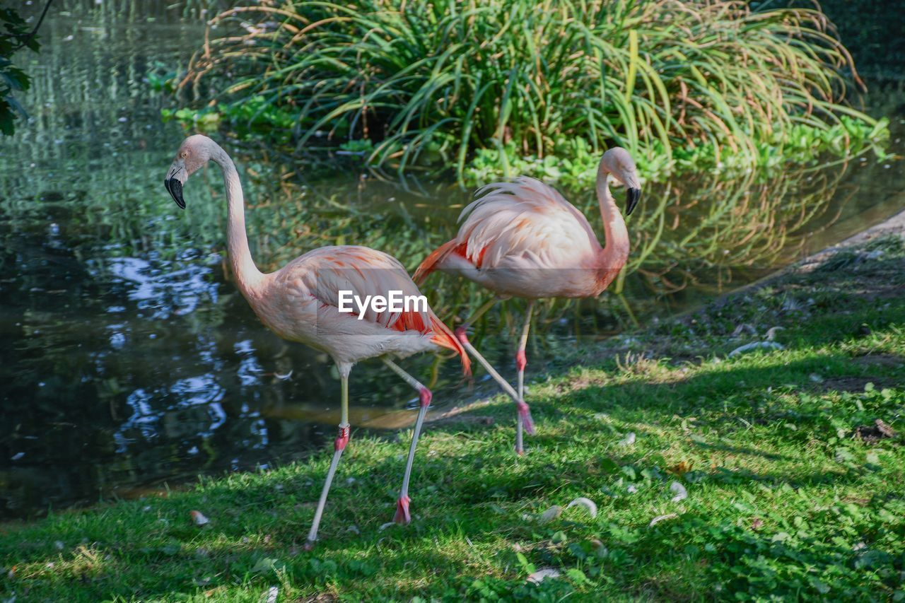 animal themes, animal, animals in the wild, animal wildlife, bird, vertebrate, water, flamingo, group of animals, nature, day, lake, plant, no people, beauty in nature, pink color, grass, standing, outdoors, animal neck, freshwater bird