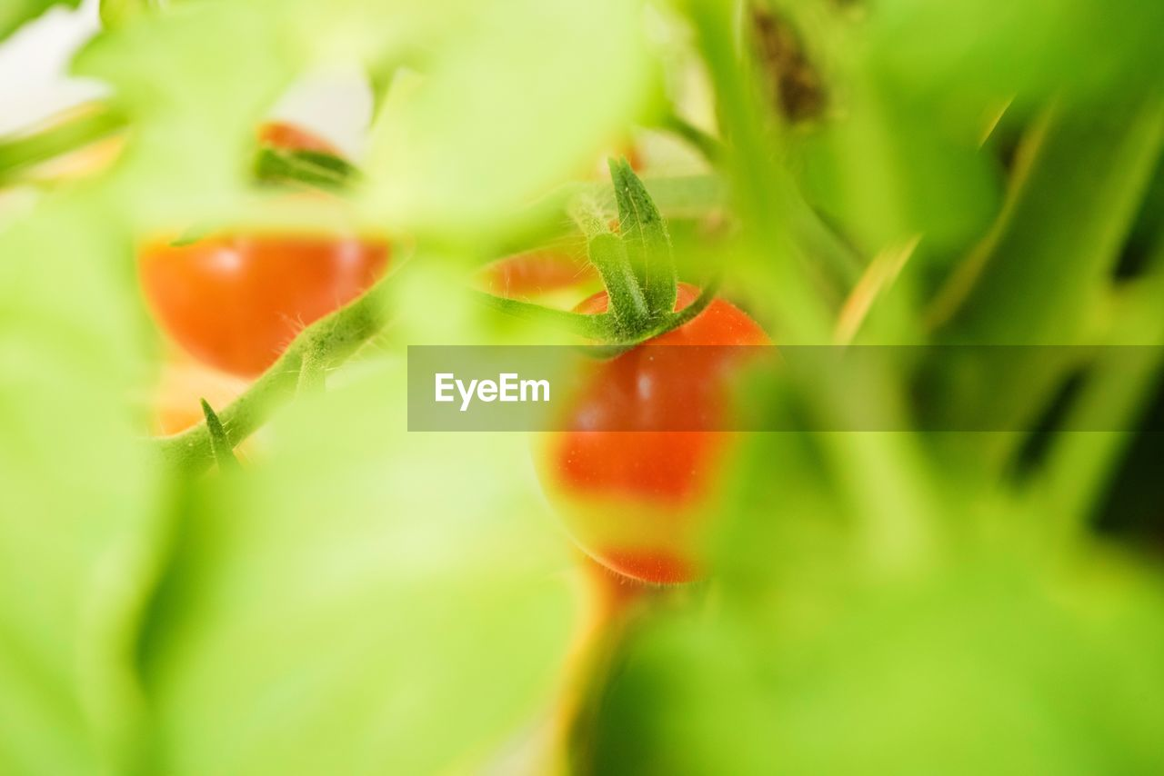 selective focus, green color, growth, plant, nature, freshness, close-up, no people, beauty in nature, red, food, day, outdoors, fragility