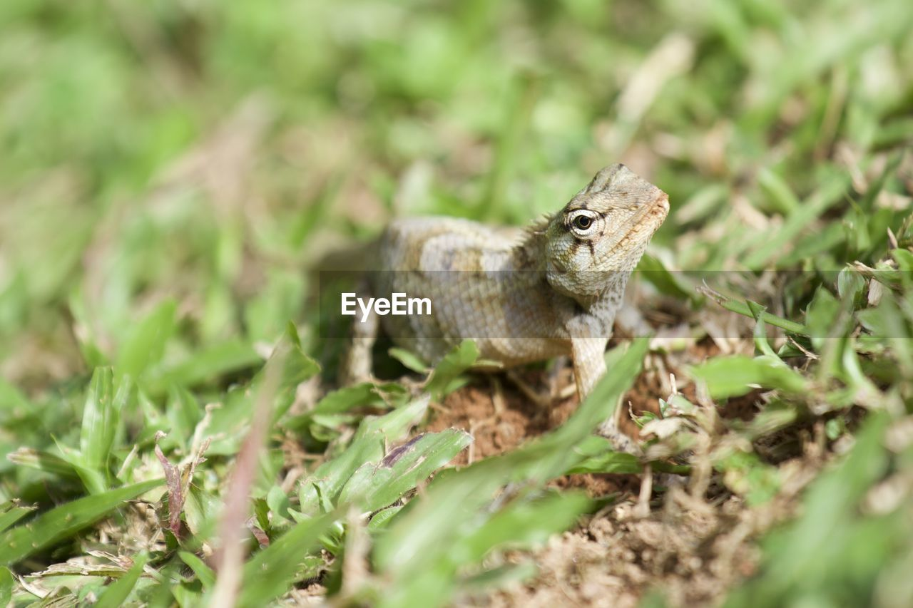 animal, animal themes, one animal, animal wildlife, animals in the wild, selective focus, no people, plant, nature, field, land, vertebrate, day, green color, close-up, reptile, grass, side view, plant part, outdoors