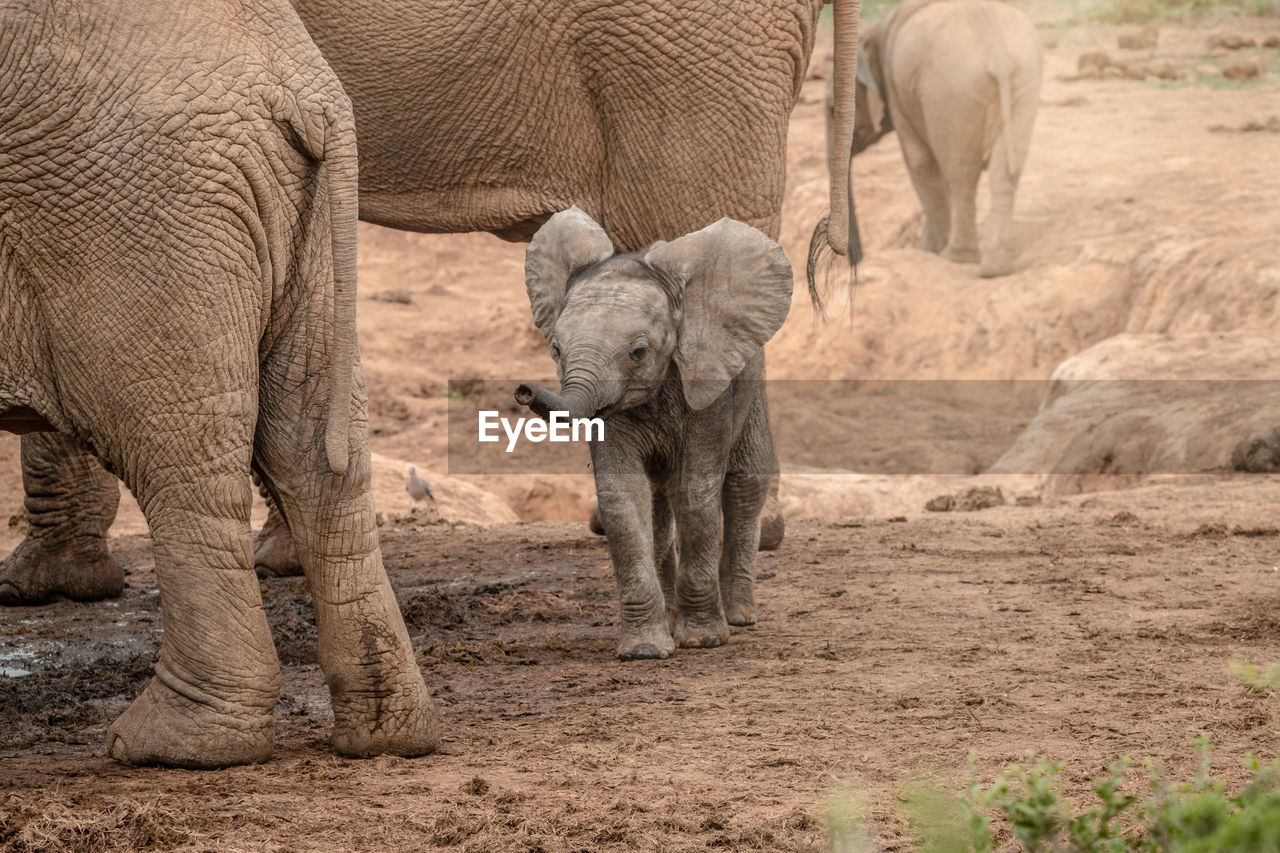 VIEW OF ELEPHANT IN THE ANIMAL