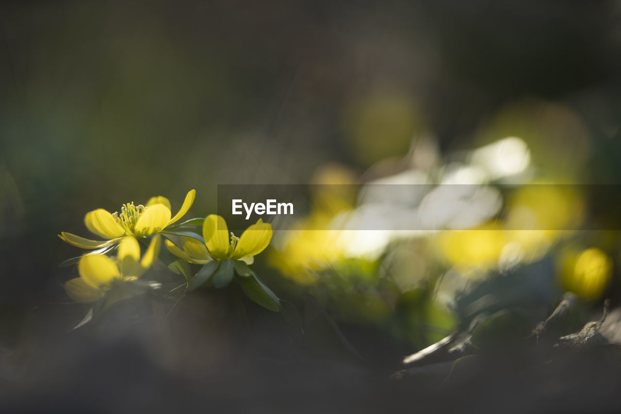 plant, flower, flowering plant, growth, beauty in nature, selective focus, freshness, vulnerability, fragility, close-up, nature, no people, day, petal, yellow, green color, outdoors, flower head, tranquility, inflorescence, bright