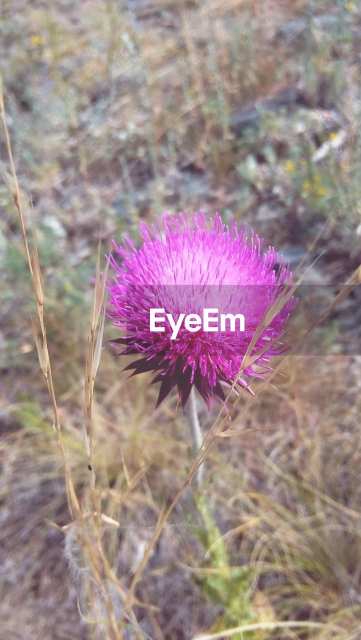 flower, purple, nature, thistle, field, growth, fragility, day, plant, beauty in nature, focus on foreground, flower head, no people, outdoors, close-up, blooming, freshness, eastern purple coneflower, crocus