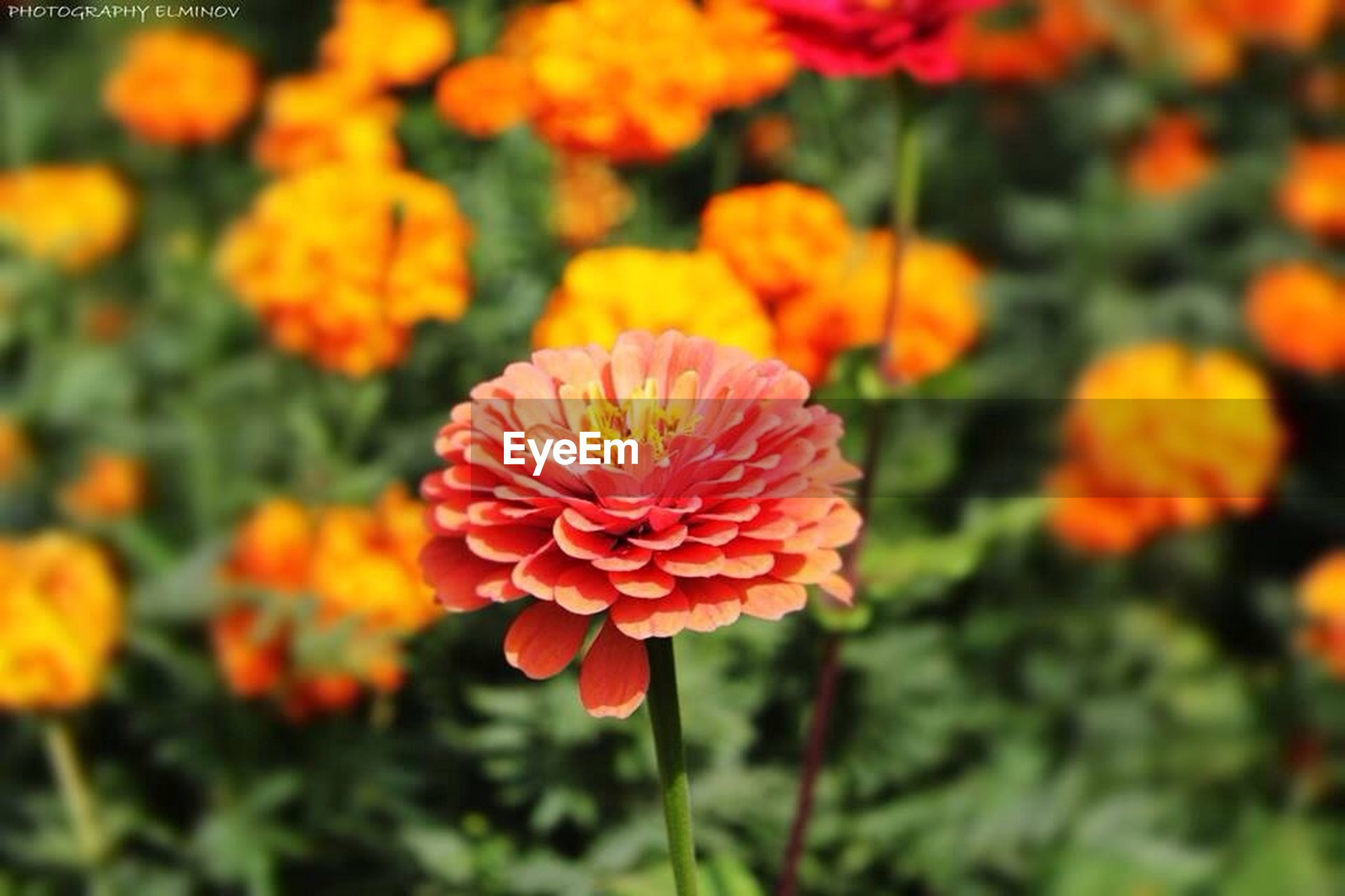 flower, petal, freshness, fragility, flower head, growth, beauty in nature, blooming, nature, orange color, focus on foreground, close-up, plant, red, yellow, in bloom, park - man made space, blossom, no people, outdoors