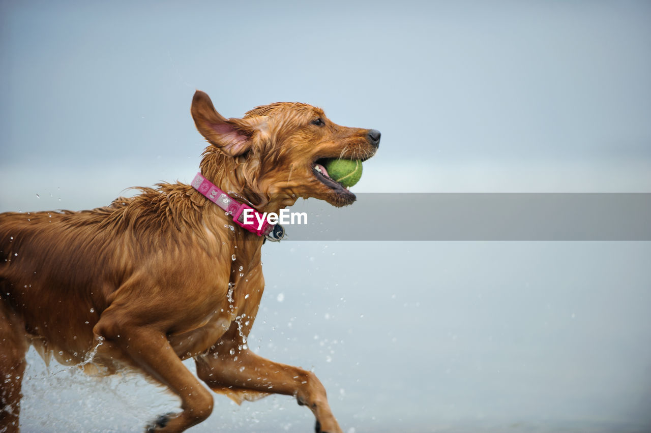 dog, pets, domestic animals, animal themes, one animal, mammal, water, wet, nature, day, outdoors, no people, standing, sky