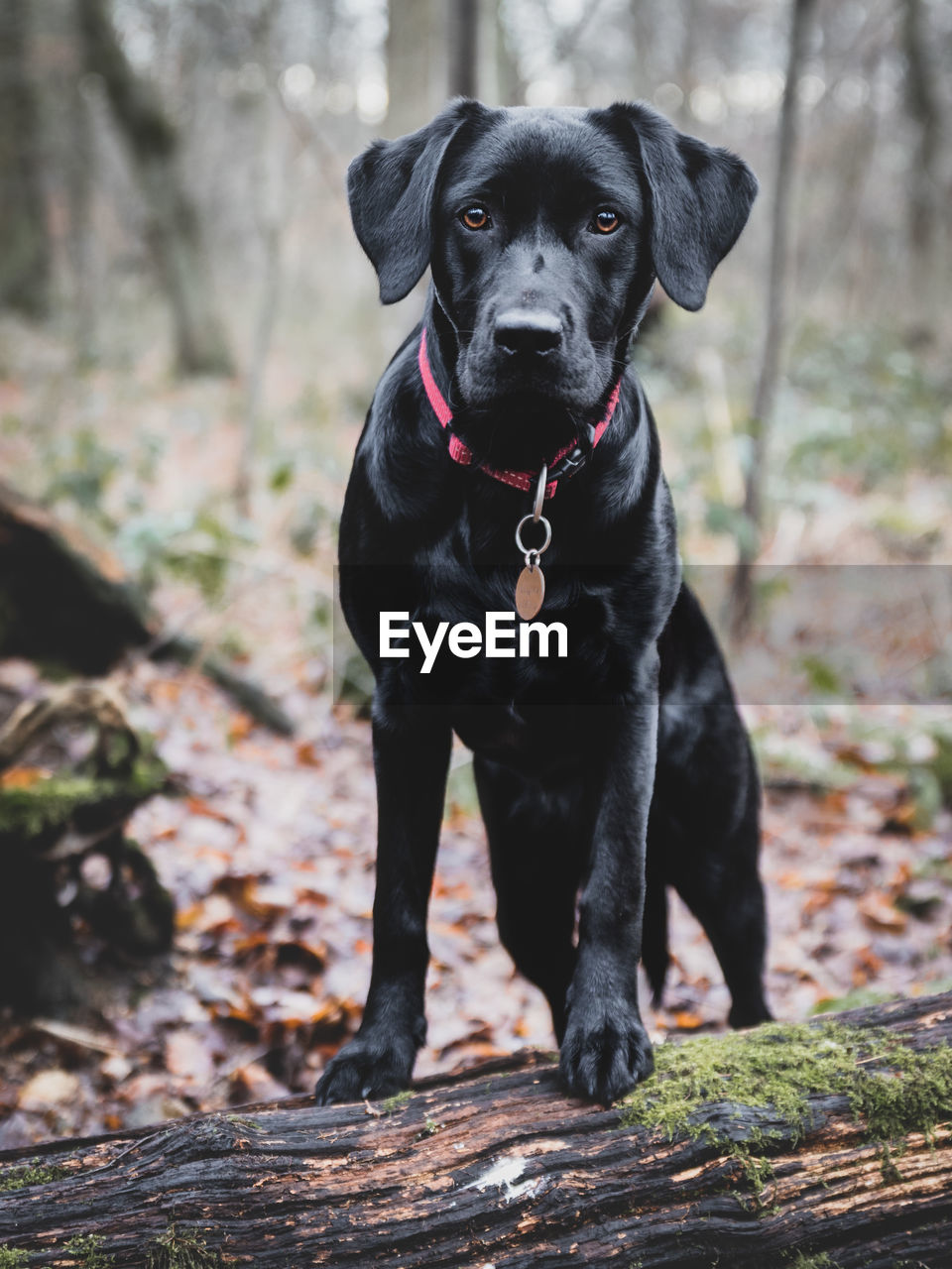 Portrait of black dog standing in forest