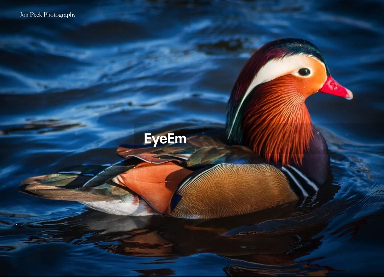 mandarin duck, animal themes, duck, animals in the wild, one animal, bird, waterfront, lake, water, animal wildlife, swimming, nature, beauty in nature, no people, day, multi colored, outdoors, close-up