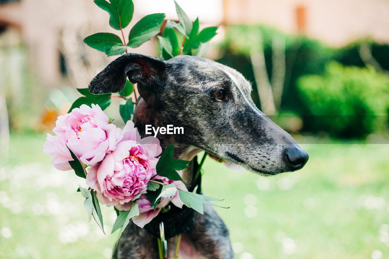 CLOSE-UP OF DOG ON PINK FLOWER
