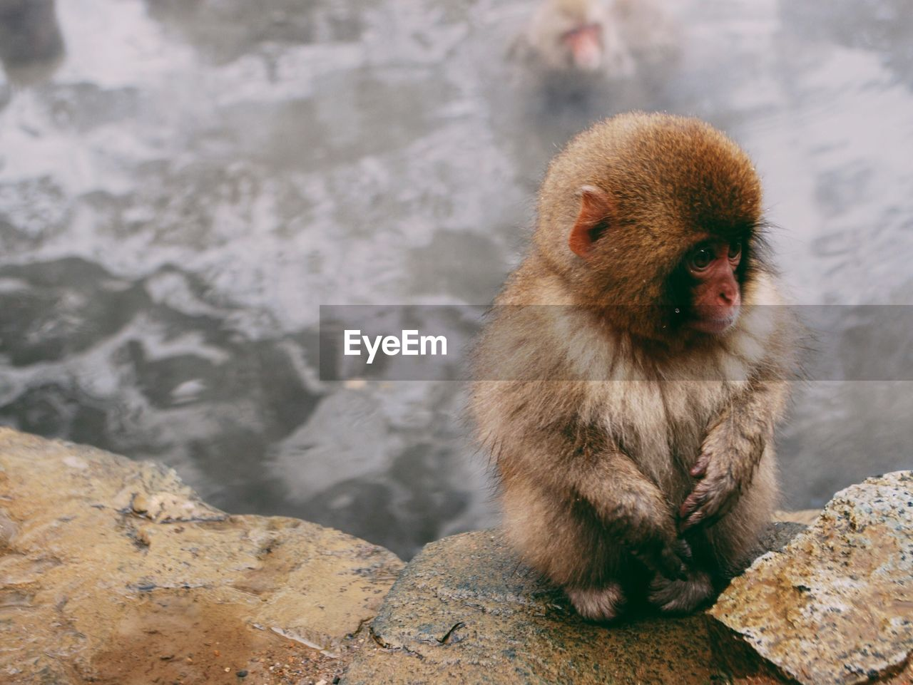Portrait Of Monkey By Water