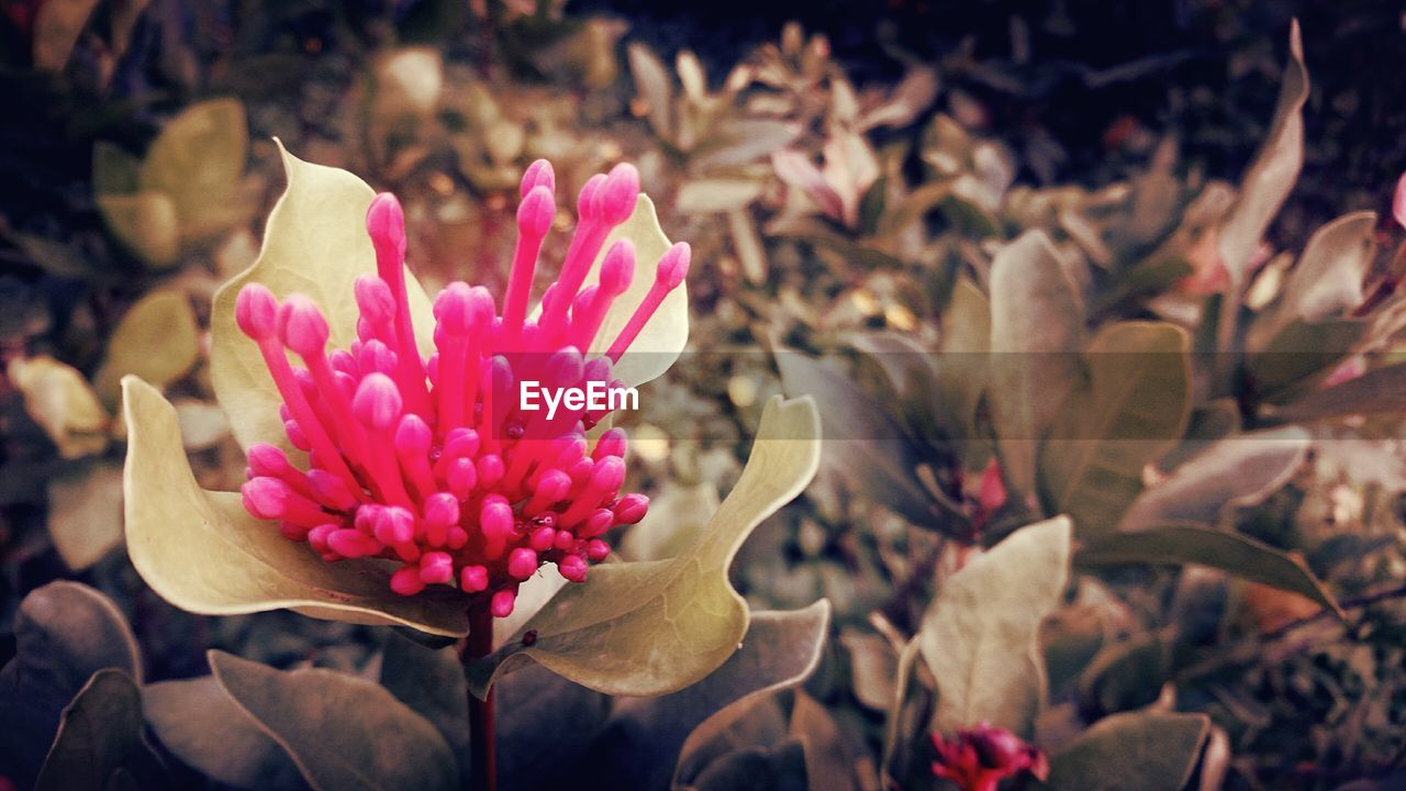 flower, petal, pink color, nature, fragility, flower head, beauty in nature, growth, freshness, blooming, plant, no people, close-up, day, outdoors