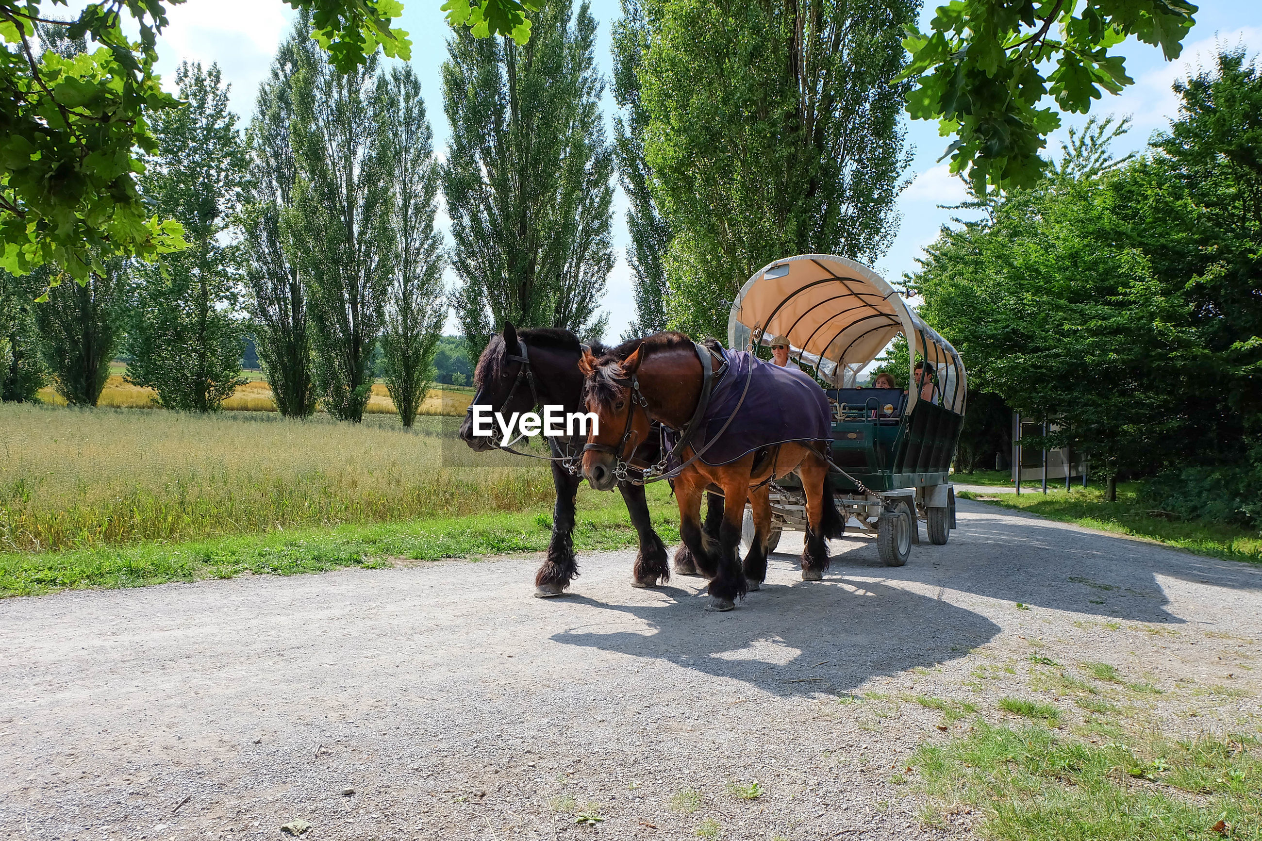 Horse cart on pathway by field