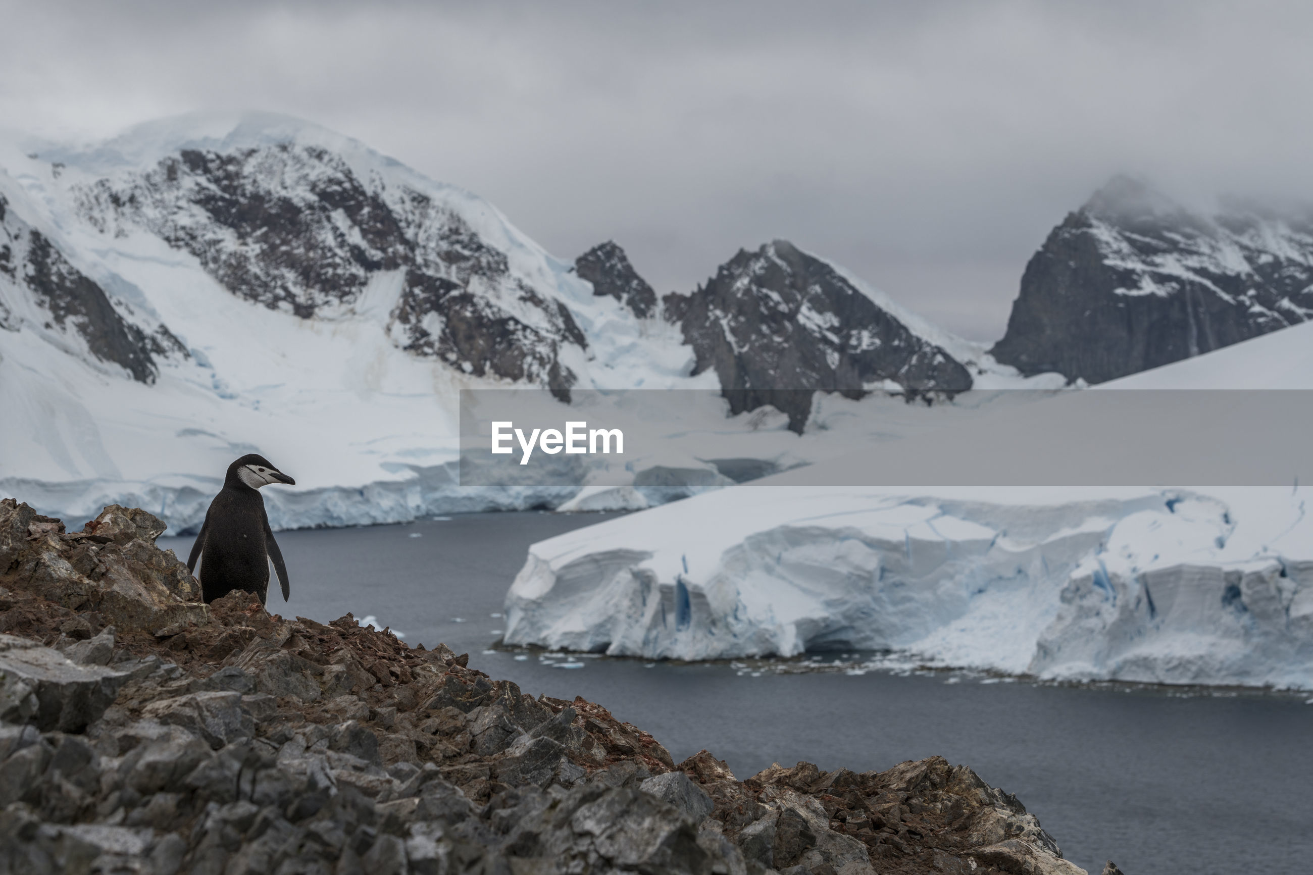 Chinstrap penguin nesting on spigot peak, at orne harbor on the antarctic peninsula.