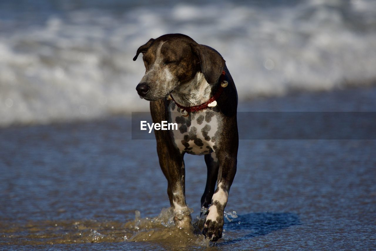 dog, canine, one animal, pets, animal themes, mammal, domestic, animal, domestic animals, water, vertebrate, motion, day, nature, beach, focus on foreground, running, no people, land, outdoors, weimaraner, purebred dog